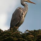 The Koi Thief,Heron(Ardea cinerea),  by Hovis