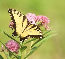 butterfly on milkweed by SusieG