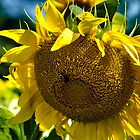 Sunflower (Helianthus annuus) by LudaNayvelt