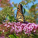 Butterfly Bush by lorilee