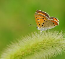 the little butterfly  by davvi