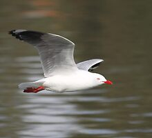 Silver Gull in Flight  by Carole-Anne