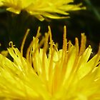 Dandelion by bruxeldesign