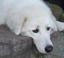 Maremma Resting on the Rocks by ariete