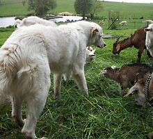 Maremma With Goats by ariete