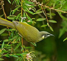 Lewin's Honeyeater .. by Warren  Patten
