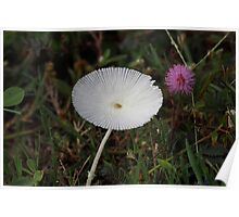 Parasola sp (mushroom) and Mimosa pudica (touch me not flower) Poster
