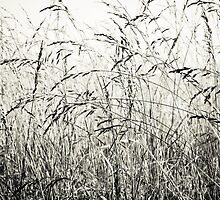 Tall Grass by Carolyn Chentnik