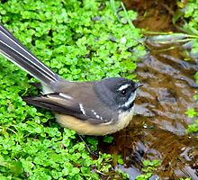 Food On The Hoof Is Thirsty Work...Fantail - NZ by AndreaEL