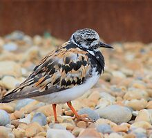 Ruddy Turnstone by Dave Godden