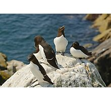 Every angle covered, razorbills, Saltee Island, County Wexford, Ireland  Photographic Print