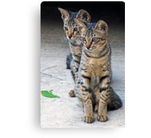 Kitten duo Canvas Print