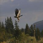 East Mountain Hawk by Tim Harper