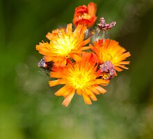 Hawkweed wild flower by Margaret S Sweeny