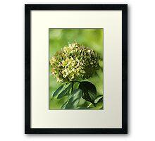 *Just Green Hydrangea* Framed Print