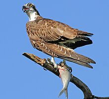 Osprey with catch(Licking my lips in anticipation!) by jozi1