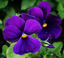 Pansies by Nita Kubricht