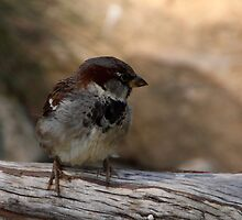 House Sparrow by Gail Falcon