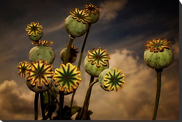 Poppy Pods by ajgosling