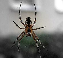 SPIDER WAITING by Heidi Mooney-Hill