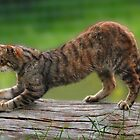 Scottish Wild Cat(Felis silvestris) by Hovis