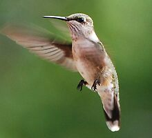 A Young Male Hummingbird by barnsis