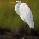 Great Egret by Rob Lavoie