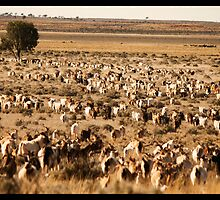 Mustering Wild Goats!  by Anna Ryan