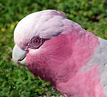 Female Galah  by Angie66