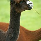 Alpaca by LorrieBee