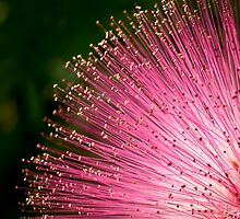 Pink fireworks tipped with gold by Celeste Mookherjee