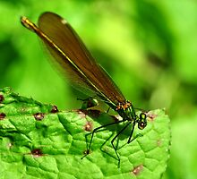 Beautiful Damoiselle by Russell Couch