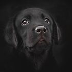 Black Lab puppy by outwest photography.co.uk