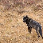 The Black Wolf by Tim Grams