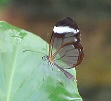 Glasswing Butterfly by Lynn Bolt