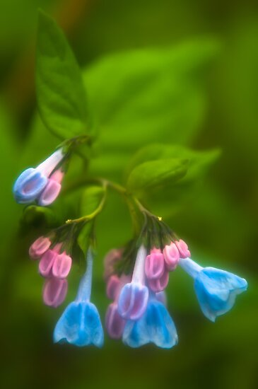 Virginia Bluebells by JHRphotoART
