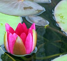 Beauty Unfolding - Vibrant Pink Water Lily Bud by BlueMoonRose