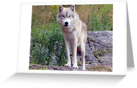 The *LUMIX* Wolf  by John44