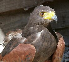 Harris Hawk by Lynn Bolt