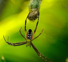 Spider - Botanical Gardens, Cairns by asskwoo