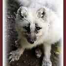 Little White Fox by AngieBanta