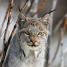 Lynx Portrait by Tim Grams