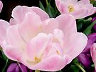 Pink Tulip by NatureGreeting Cards ©ccwri