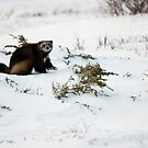 Wolverine in Winter by Tim Grams