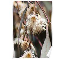Eucalyptus sideroxylon Poster