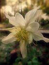 Soft Evening Light on the Columbine Flower by Lucinda Walter