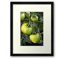 Green tomatos Framed Print