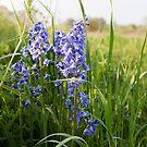 Bluebell Meadow by Skye Hohmann