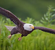Bald Eagle- Low Pass by Tim Grams