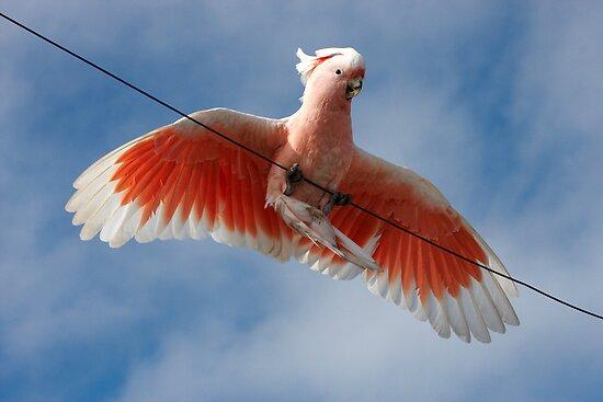 Major Mitchell's Cockatoo (Pink Cockatoo) ~ Circus Act by Robert Elliott